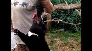 Тасманский дьявол: дьявольские крики на острове Тасмания. Животные Австралии(Животные Австралии: тасманийский или тасманский дьявол. Он же - сумчатый дьявол или сумчатый чёрт. Родствен..., 2015-05-22T01:53:28.000Z)