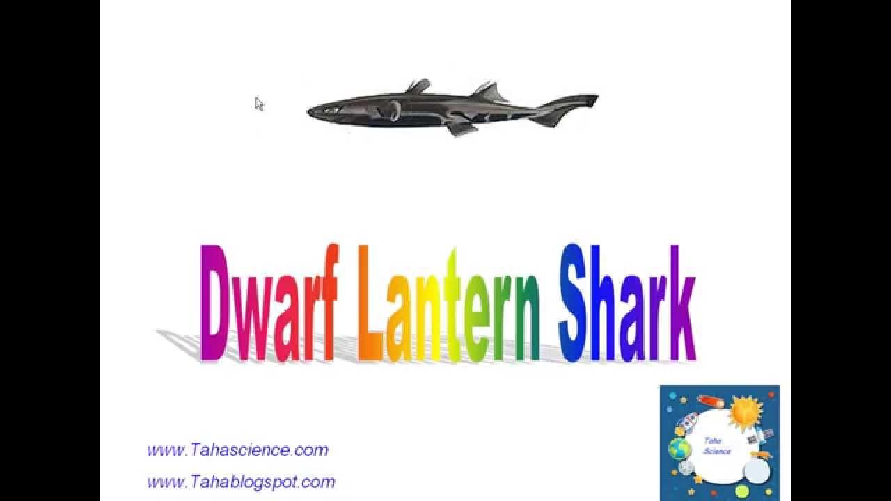 Dwarf Lantern shark - YouTube