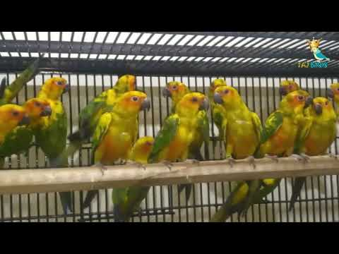 Sun Conure DNA Tested Pair For Sale || Sun Conure Price in Pakistan