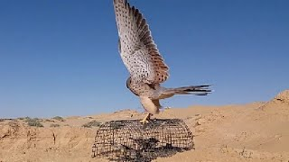 Repeat youtube video صيد الصقور/قنص الصقور /قنص عوسق بتصوير رائع /Falcon hunting