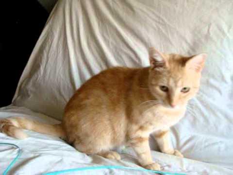 Adopted Orange Tabby Kitten Mom Her 2 Bengalorange Tabby