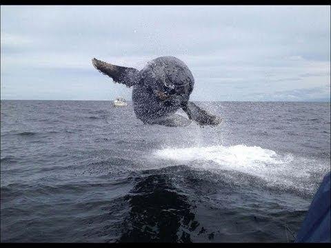 baleine qui saute et vole   youtube