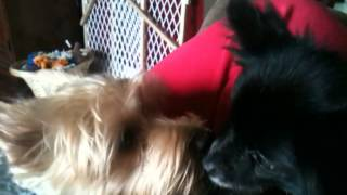 Yorkie And Pom/chihuahua Mix Playing And Kissing.  So Cute.  Cooper And Chi Chi Love Each Other.