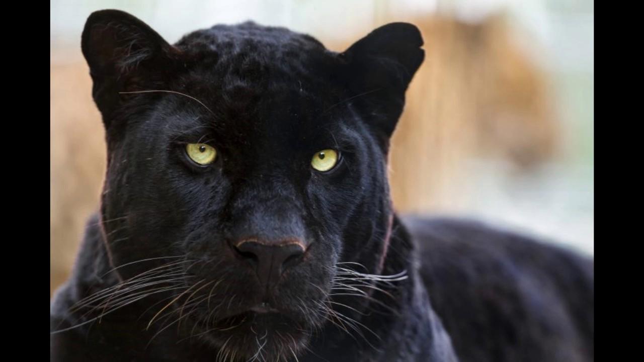 La Pantera Negra: ANIMAL DE PODER
