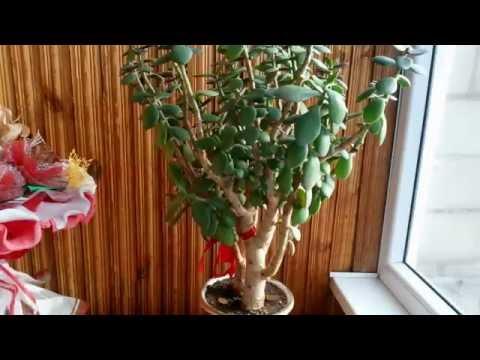 Домашнее денежное дерево по фен шуй. Уход и размножение