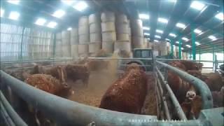 Une ferme de vache limousine