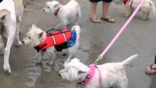 Wroc - Joey The Surfing Westie