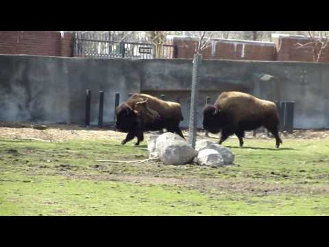 Peccary and Bison.MP4