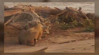 Свирепые битвы животных в дикой природе