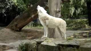 Lobo Uivando no Zoo de Berlim