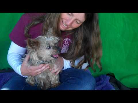 A5045414 Lilly | Silky Terrier