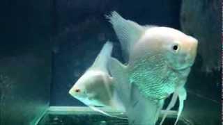 Angelfish Blue Albino Female - Platinyum Pearl Male.