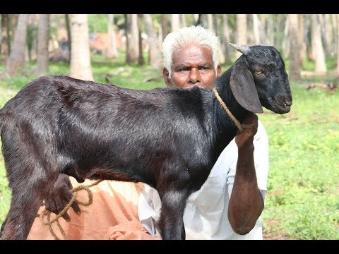 Cooking Full Goat Mutton Chukka by my Wife in My Village | Super Taste | Food Money Food