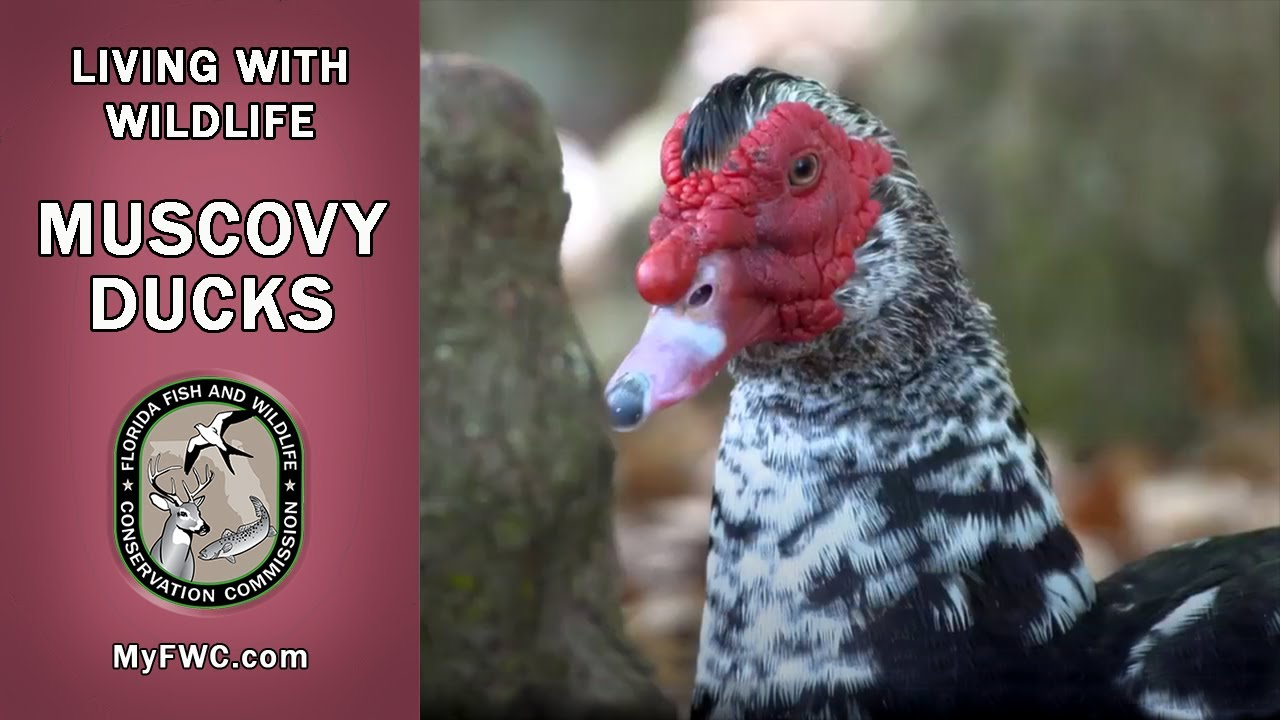 Living With Wildlife: Muscovy Ducks