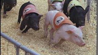 PIG RACING at the Fair - CALIFORNIA