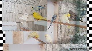 Muhabbet Kuşları Dişi ve Gençlerimizi Salmaya Attık