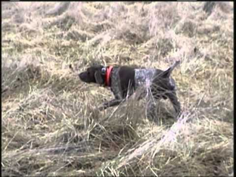 German Shorthaired Pointer Finding Pheasants