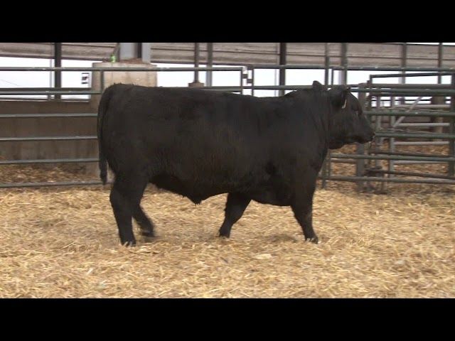 Schiefelbein Angus Farms Lot 4