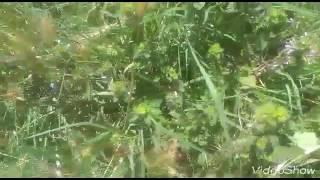 Ballıbaba bitkisinin yaprakları çayının faydaları yararları nelerdir ballı baba bitkisi faydaları