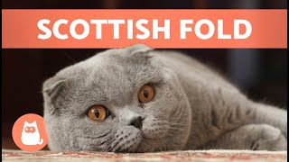 SCOTTISH FOLD CAT BREED  Characteristics, Care and Health