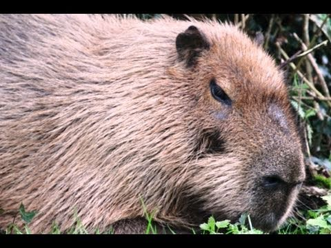 World S Largest Rodent Youtube