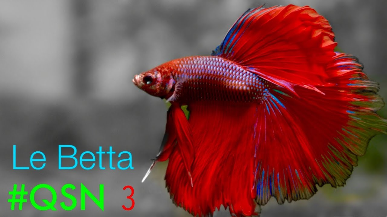 Qsn 3 le betta splendens youtube for What fish can live with bettas