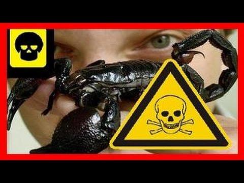 Escorpiones Mas Venenosos Del Mundo Top 5 Youtube
