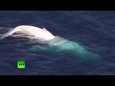 Rare white whale enjoying itself in waves caught on camera in Australia