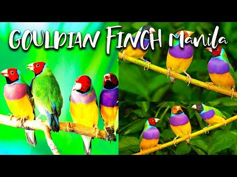 gouldian-finches-manila-cheapest-price-and-how-to-breed