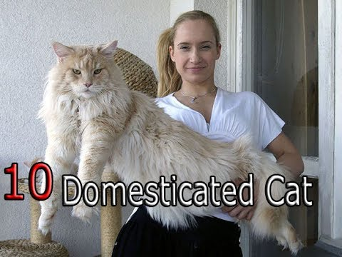 10 most Domesticated Cat Breeds of | 2016-2017 |top 10 central |