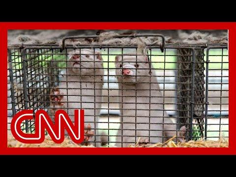 Denmark recommends 15 million mink be killed