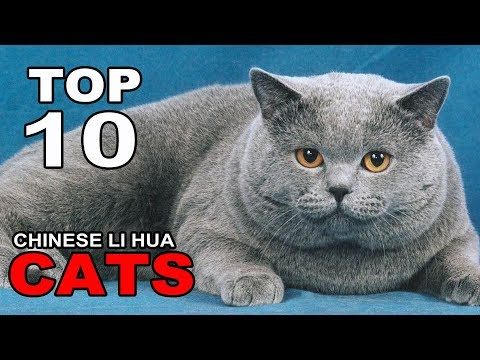 TOP 10 CHINESE LI HUA CATS BREEDS