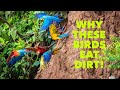 Why Do These Birds Eat Dirt!?