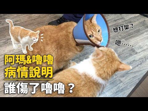 【阿瑪&嚕嚕病情說明,誰傷了嚕嚕?】志銘與狸貓