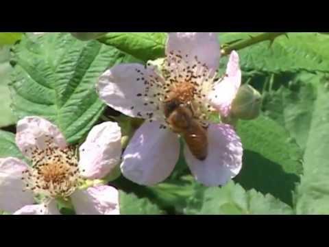 Oregon Bans  Dinotefuran  Pesticides After Bee Kill  -  Jul 2nd, 2013