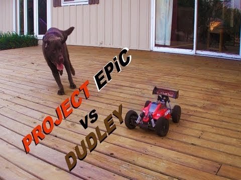 PROJECT EPiC VS DUDLEY-A Tekin powered 1/8th scale RC buggy VS A very happy chocolate Lab