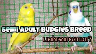 We can breed semi adult budgies?