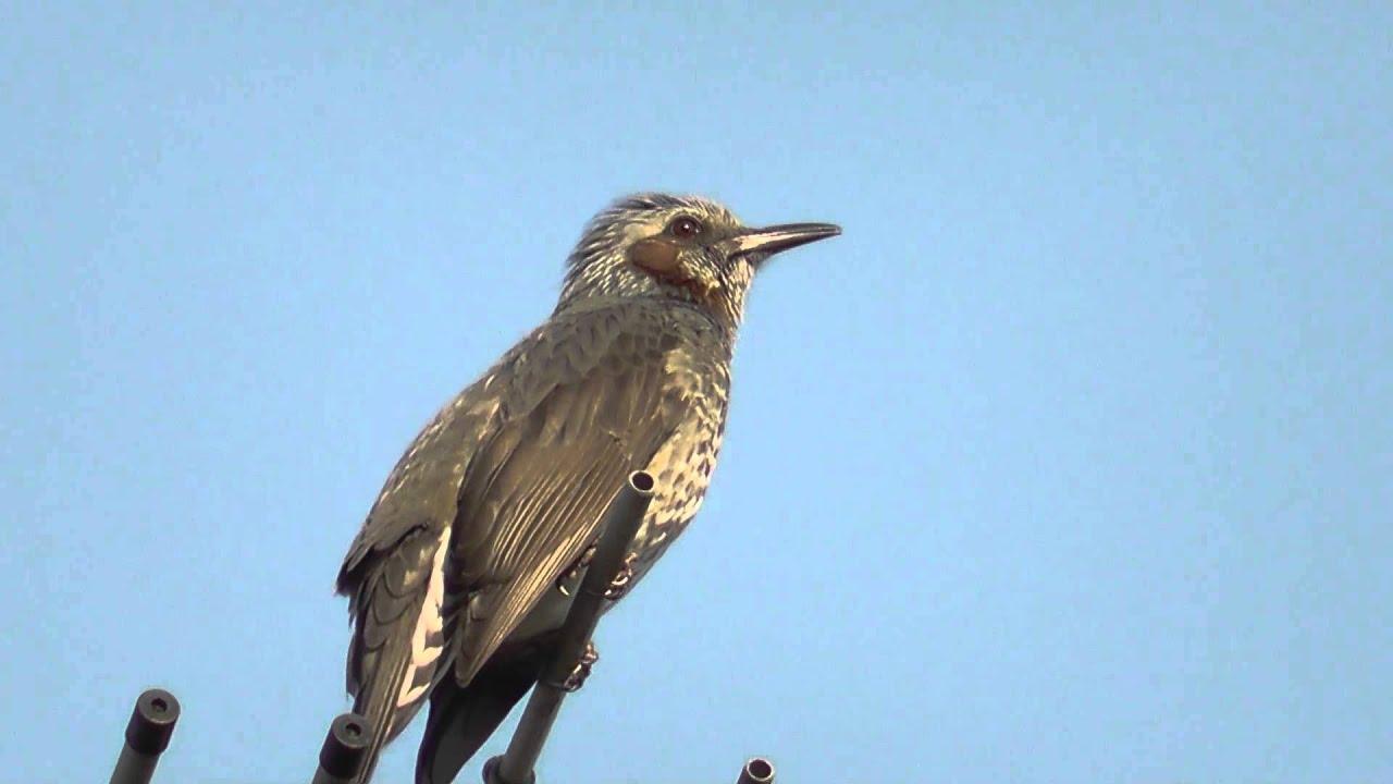 ヒヨドリ の 鳴き声 ヒヨドリ|日本の鳥百科|サントリーの愛鳥活動