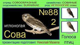 Сова иглоногая. Голоса птиц