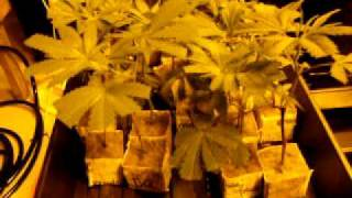 Planting Cannabis in Coco Coir and perlite. Step by step guide