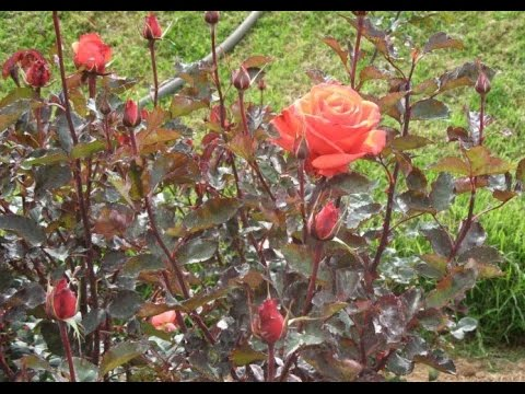 107# How to plant a Rose in garden || English Rose care & tips