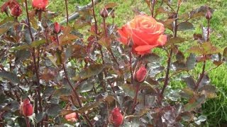 How to plant a Rose in garden || English Rose care & tips