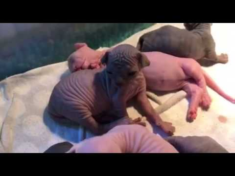 1 week old SPhynx & Bambino Hairless kittens