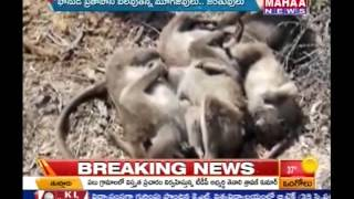 300 Monkeys Died About High Temperature -Mahaanews