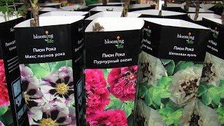 саженцы и луковицы из магазинов ОБИ, Ашан, Леруа Мерлен.Как сохранить растения из магазина