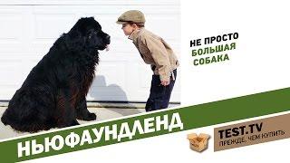 TEST.TV: Все для животных. Ньюфаундленд - собака спасатель.