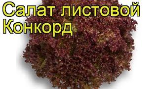 Салат листовой Конкорд. Краткий обзор, описание характеристик, где купить саженцы Konkord