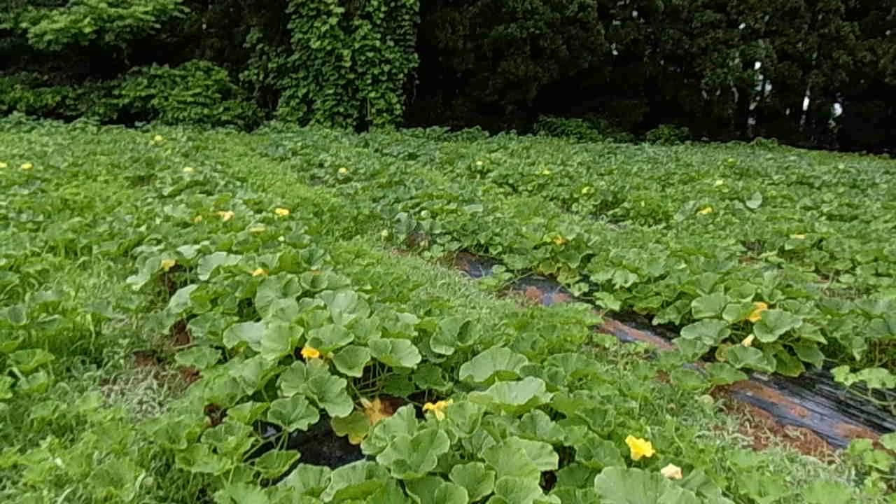 カボチャ の 育て 方 かぼちゃの栽培方法。摘芯など育て方の簡単なポイント