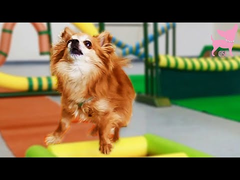 Cute Chihuahua Dog Shows Amazing and Unbelievable Tricks!