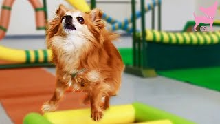 Cute Chihuahua Dog Tricks And Agility 2